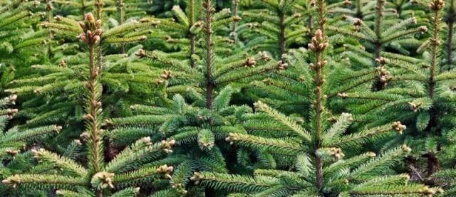 verkoop kerstbomen openingstijden velzelhoveniers